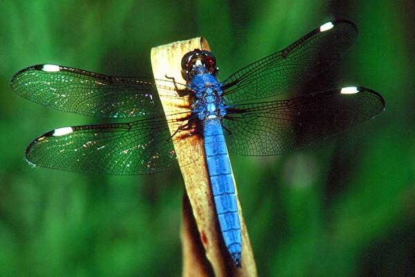 <H2>Dragonflies and Damselflies</H2>