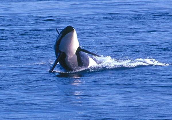<H2>Mammals, Sea</H2>
